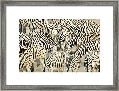Large Group Of Zebra (equus Burchelli) At Waterhole - Full Frame Framed Print by Richard du Toit