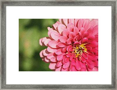 Framed Print featuring the photograph Large Pink Zinnia by Donna  Smith