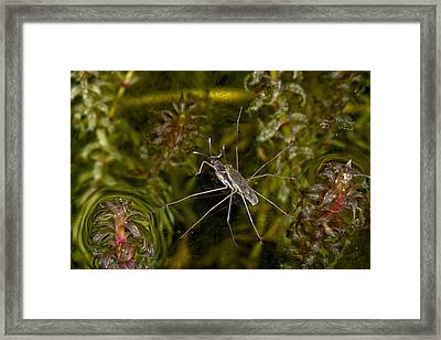Large Pond Skaters Mating Framed Print by Dr Keith Wheeler