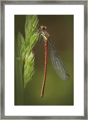 Large Red Damselfly Framed Print by Andy Astbury