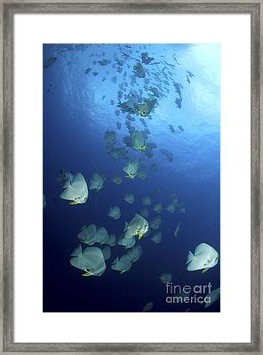 Large School Of Batfish, Christmas Framed Print by Mathieu Meur