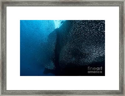 Large School Of Thousands Of Sweeper Framed Print by Mathieu Meur