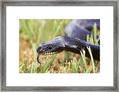 Large Whipsnake (coluber Jugularis) Framed Print