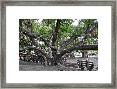 Largest Banyan Tree In The Usa Framed Print by Kirsten Giving