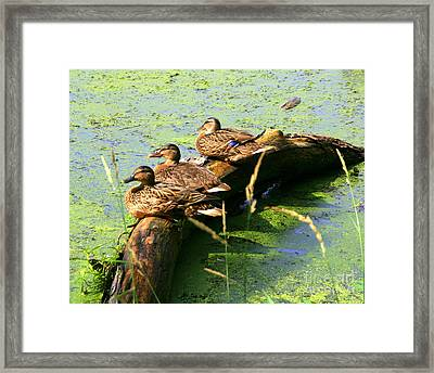 Larry  Moe And Curley Framed Print