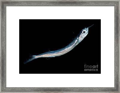 Larval Fish Framed Print by Dant� Fenolio