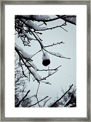Last Apple With Snow Framed Print by Tom Singleton