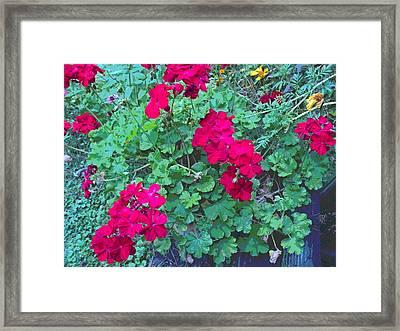 Late Geranium Blooms Framed Print