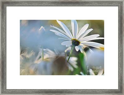 Late Sunshine On Daisies Framed Print by Kaye Menner