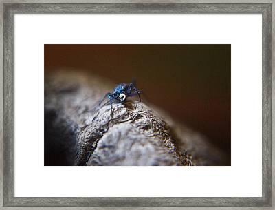 Laughing Cincindellidae Framed Print by Douglas Barnett
