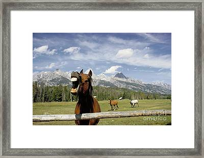 Laughing Horse Framed Print by Porterfld and Chickerng and Photo Researchers