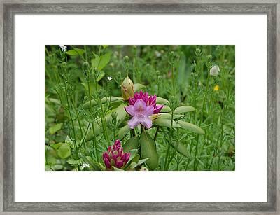 Lavendar Garden Framed Print by Aimee L Maher Photography and Art Visit ALMGallerydotcom
