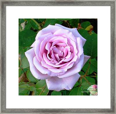 Framed Print featuring the photograph Lavendar Rose by Alys Caviness-Gober