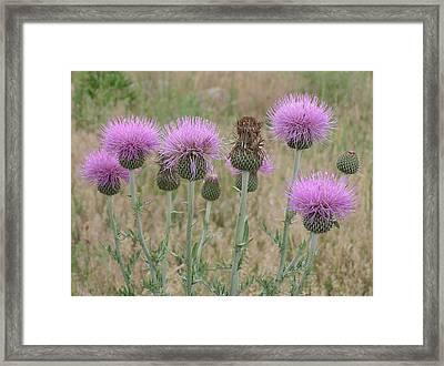Lavendar Thistles In Bloom Framed Print