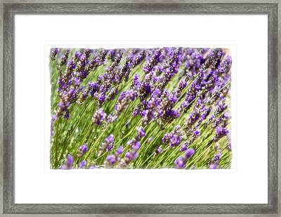 Framed Print featuring the photograph Lavender 2 by Ryan Weddle