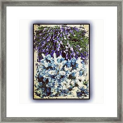 Lavender And Blue Spruce Framed Print