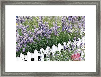 Lavender And Picket Fence Framed Print