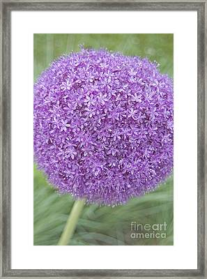 Lavender Ball Framed Print