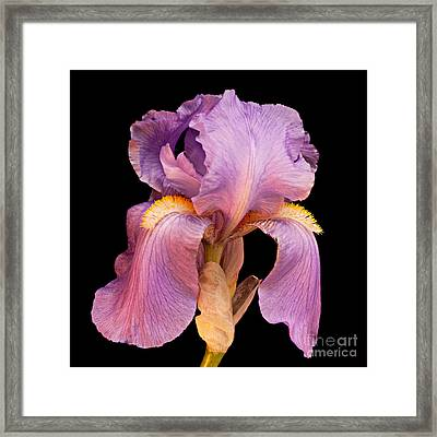 Lavender Beauty Framed Print by Andee Design