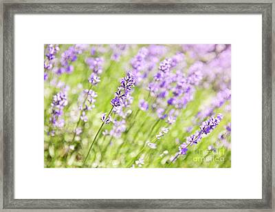 Lavender Blooming In A Garden Framed Print