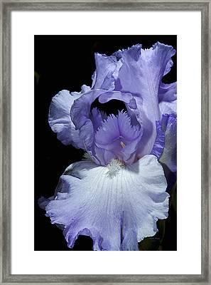Lavender Blue Iris Framed Print