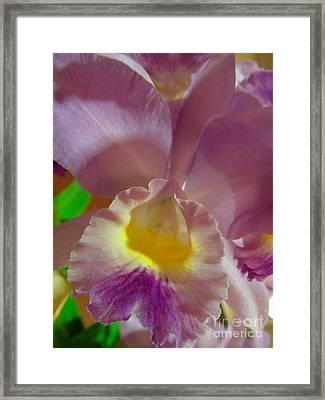 Lavender Cattleya Orchid Framed Print by Renee Trenholm