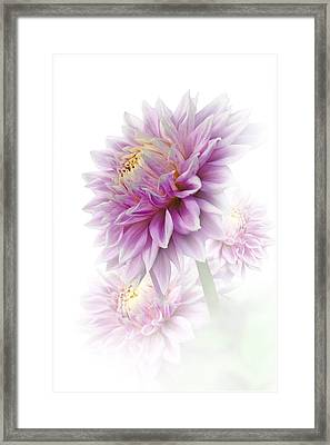 Lavender Dahlia Framed Print