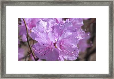 Lavender Elegance Framed Print