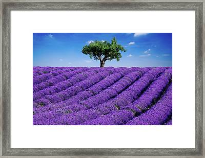 Lavender Field And Tree Framed Print