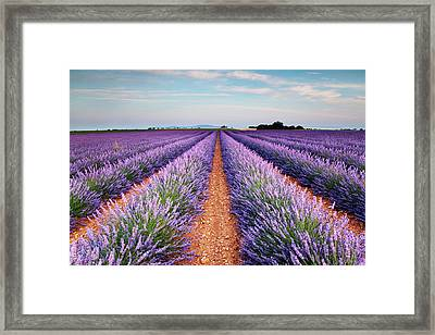 Lavender Field In Blossom Framed Print by Matteo Colombo