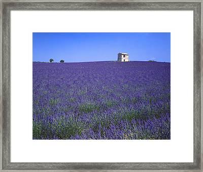 Lavender Field In Southern France Framed Print