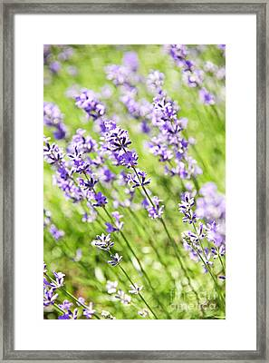 Lavender In Sunshine Framed Print by Elena Elisseeva