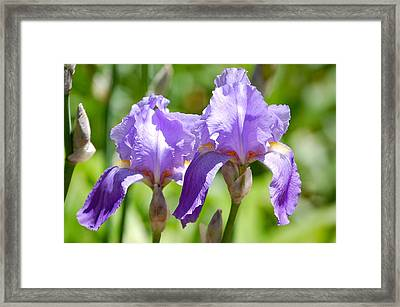 Framed Print featuring the photograph Lavender Iris II by Mary McAvoy
