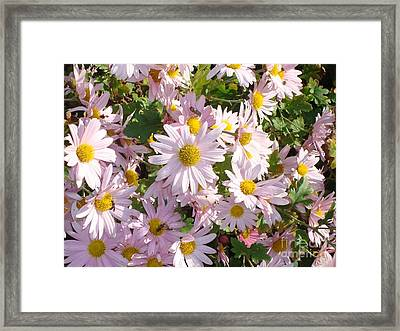 Lavender Mums Framed Print by Tina McKay-Brown