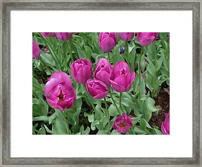 Lavender Tulips Framed Print by Larry Krussel