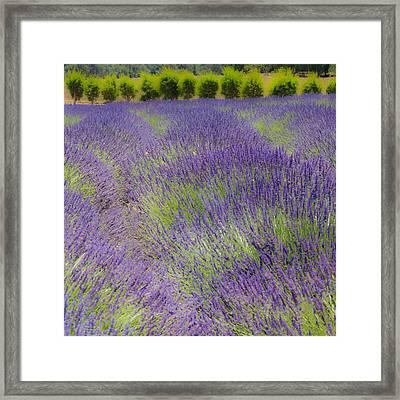 Lavender3 Framed Print