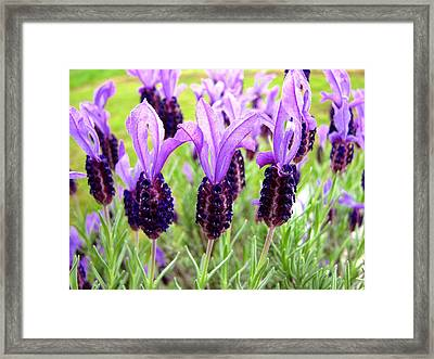 Lavenders Framed Print by Les Cunliffe
