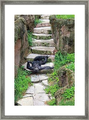 Lazy Chimp Framed Print by Lori Johnson
