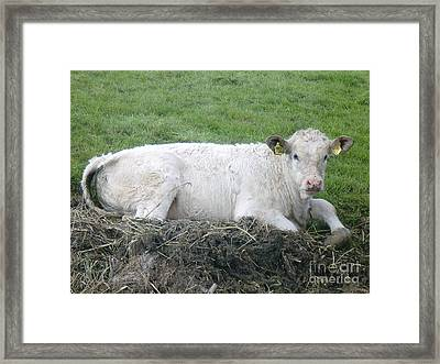 Lazy Cow Framed Print by Anastasis  Anastasi