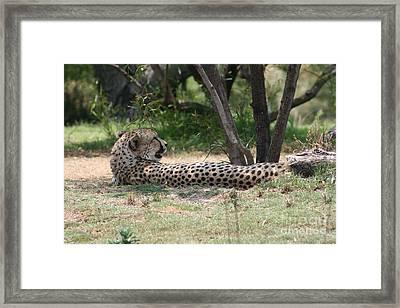 Lazy Midday Catnap Framed Print