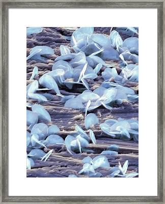 Lead Oxide Crystals On Lead, Sem Framed Print by Dr Kari Lounatmaa