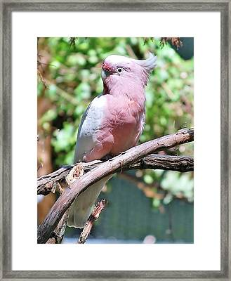 Leadbetter's  Cockatoo Framed Print