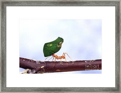 Leaf-cutting Ant With Leaf Framed Print