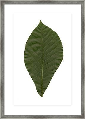 Leaf Of Mockernut Hickory Framed Print by Mary Ann Southern