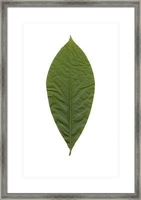 Leaf Of Pawpaw Framed Print by Mary Ann Southern
