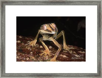 Leaf-tail Gecko Framed Print by Dante Fenolio