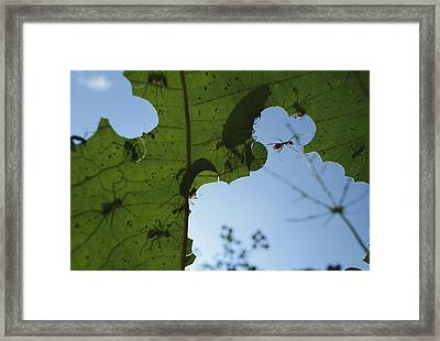Leafcutter Ant Atta Columbica Workers Framed Print