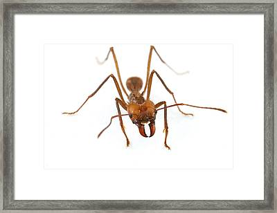 Leafcutter Ant Worker Costa Rica Framed Print