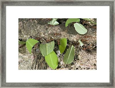 Leafcutter Ants Carrying Leaves Framed Print by Bob Gibbons