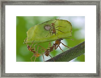 Leafcutter Ants Costa Rica Framed Print